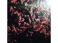 ▲花園新城櫻花已滿開(圖/網友huiling_tw、jully_hseih、taiwan_uncharted提供,請勿隨意翻拍,以免侵權。)
