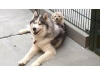 ▲哈士奇Arlo和貴賓狗Spot是彼此最好的朋友,牠們在流浪的生活中依靠著彼此活了下來。 ((圖/翻攝自《Humane Society Silicon Valley》臉書粉絲專頁,下同)
