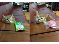 吃貨必備表情!橘貓使出悲情牌 就知道你們人類受不鳥~(圖/取自橘貓小乖的慵懶日記)