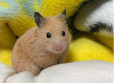 小仓鼠「黄毛黑耳朵」机似皮卡丘