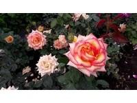 ▲大花有機玫瑰農場(取自《大花有機玫瑰農場》臉書專頁)