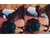 ▲虎斑狗翻包包「偷叼100塊」換零食 媽傻眼:難怪錢變少(圖/網友蔡家瑜提供,下同)