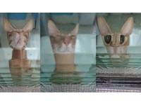 ▲「馬賽克貓」天天等門迎下班 怪表情笑壞媽:在做啥壞事?(圖/網友李青錦提供)