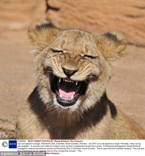 小狮子的哈欠像可爱的笑脸.(图/东方ic)