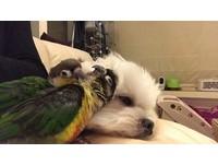 狗鳥好朋友。(圖/5毛犬3毛鳥的happydays提供)