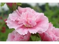 花博公園蜀葵。(圖/台北市公園處提供)