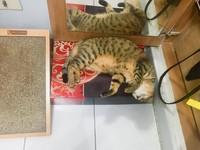 貓抓板,小虎,貓(圖/記者易景萱攝)