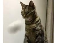 ▲對逗貓棒毫無興趣的貓(圖/網友Kavin Cheng提供,請勿隨意翻拍,以免侵權。)