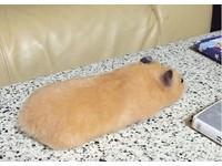 ▲ 小倉鼠趴著竟然會變成燒餅.......OAO(圖/翻攝自推特:ganmo_chan,下同。 )