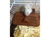 ▲ 「全日本倉鼠醜照錦標賽」,有多少倉鼠在睡得香甜的時候被主人拍下醜醜的睡姿呢?(圖/翻攝自日本網站Curazy,下同。 )