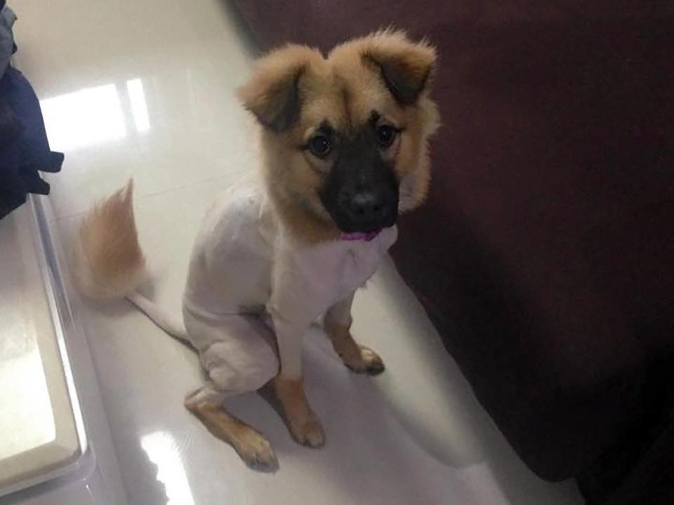 澳洲大哥带松狮犬进中国宠物美容店,这新造型吓傻了!