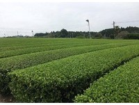 茶樹。(圖/記者蔣妍婷攝)