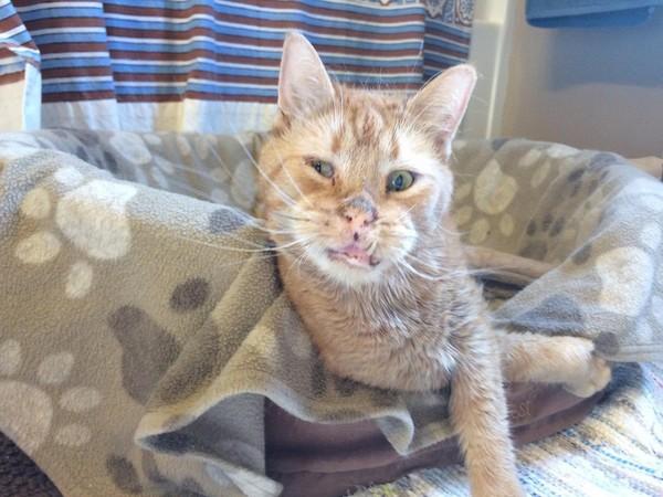 患有先天疾病的橘虎斑猫爱撒娇的样子,已经萌倒庇护所的所有奴才啦