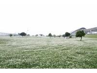 台北都會公園白花三葉草(圖/新北市政府高灘地工程管理處提供)