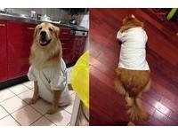 雞肉比腰圍重要!狗狗衣服快爆了 媽憋笑:白色顯胖啦(圖/網友Aaron Mo授權提供)