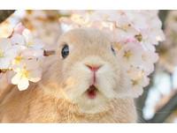 ▲兔兔「馬鈴薯」看到櫻花的感動表情融化一票網友啦!(圖/翻攝自推特帳號:evo3183,下同。 )
