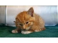 ▲獨耳小橘貓「Hearo」被發現的時候才六個月大,身受重傷的牠性命岌岌可危。(圖/翻攝自《The Humane Society of Utah》臉書粉絲專頁,下同。 )
