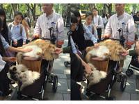 日本大叔表參道帶「八貓推車」逛街 可愛模樣讓群眾搶拍(圖/網友小麥提供)