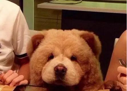 我家养了小熊熊!长毛法斗比松狮还像梦幻泰迪嘛