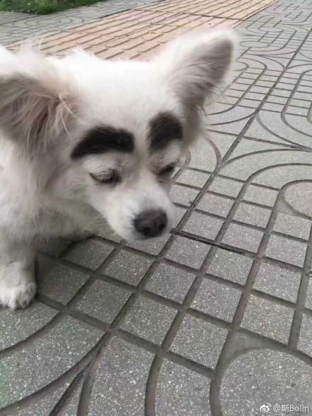 蠟筆小新小白狗自帶天然「粗黑眉」,網友笑稱:這才是網紅臉??!