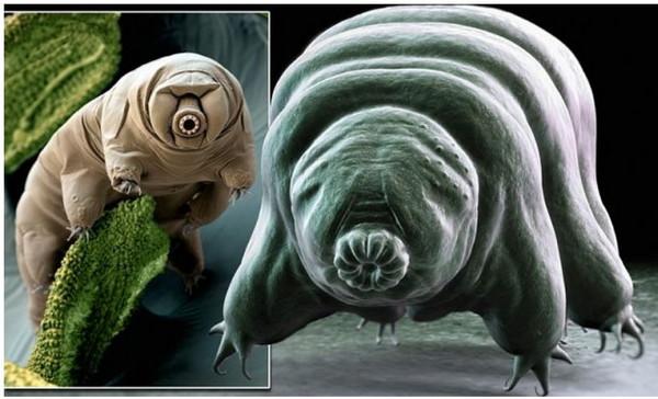 星际旅客候选人:2只虫 人称最强不死生物「水熊虫」!