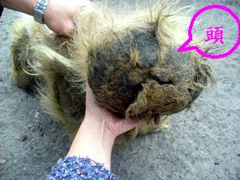 在新庄区建兴公园救援一只长相怪异的动物,脸部毛发被大便纠结成团,只