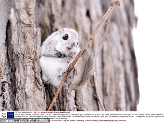 眼睛大,嘴巴小,西伯利亚鼯鼠的可爱不靠ps或「美肌」.(图/东方ic)