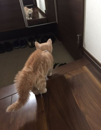 小橘猫看到自己的身影竟气到炸毛 网笑:没照过镜子?