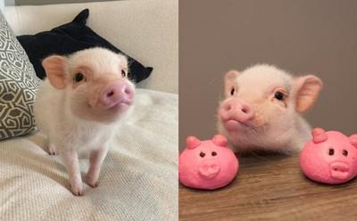 我最可爱我有话要说 极度受宠的粉红迷你猪hank