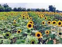 ▲向陽農場向日葵(圖/翻攝自向陽農場粉絲專頁)