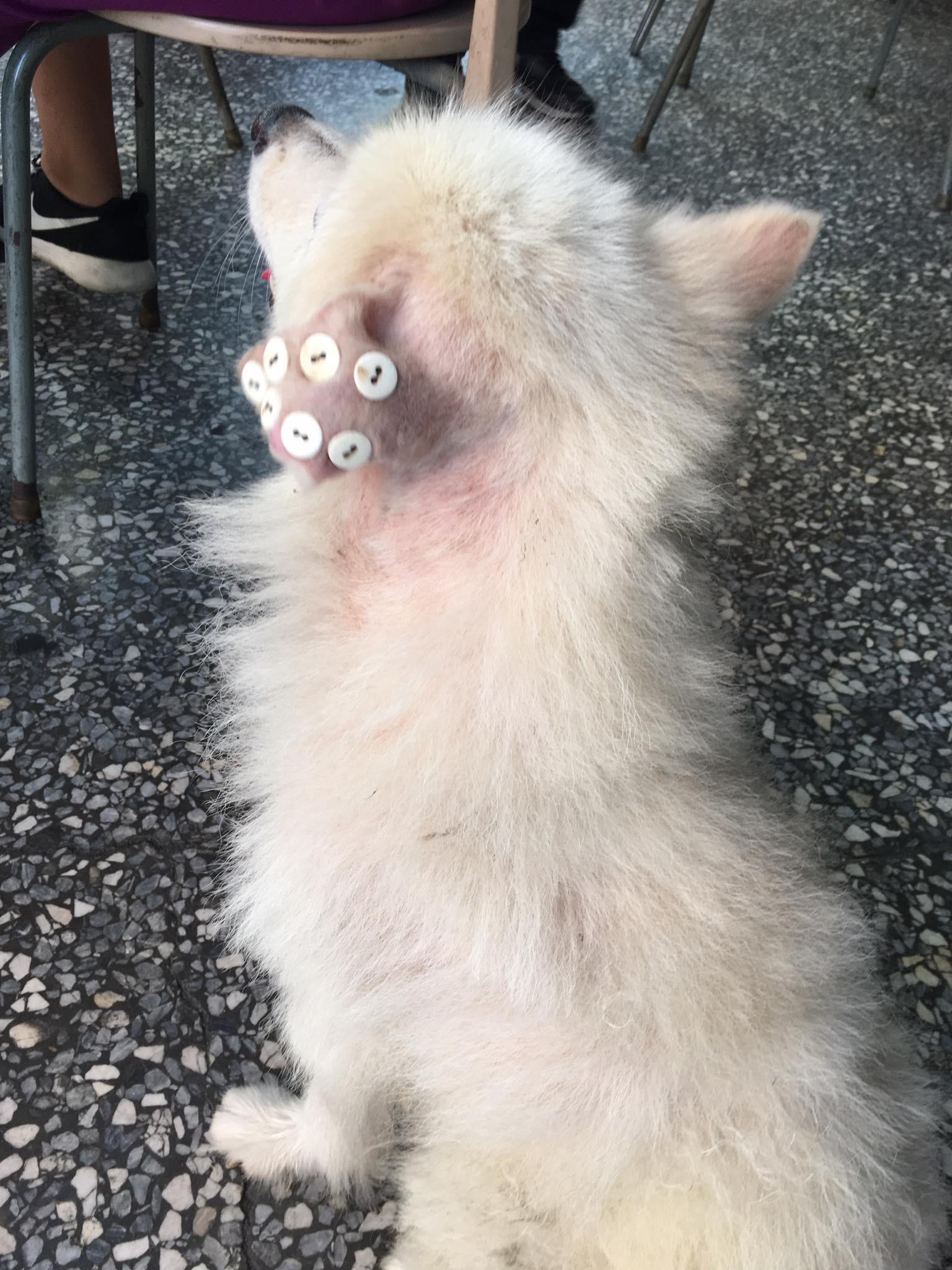 ▲▼狗耳朵「縫7顆鈕扣」是在治療耳血腫。(圖/翻攝自爆料公社)