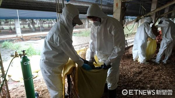 ▲屏東縣一土雞場染禽流感,共計撲殺9000隻雞。(圖/屏東縣動物防疫所提供)