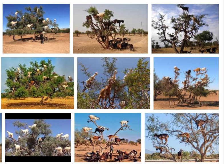 摩洛哥的羊會爬樹 而且你的護髮油可能來自牠們拉的屎