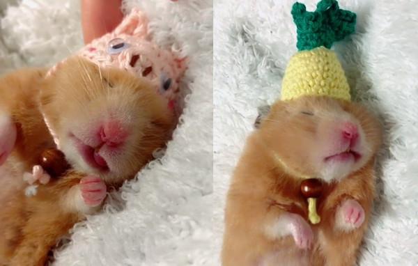 ▲趁鼠鼠熟睡玩變裝秀! 戴上巧手配件...是蠟筆小新欸。(圖/翻攝自Instagram:udonchan0920)