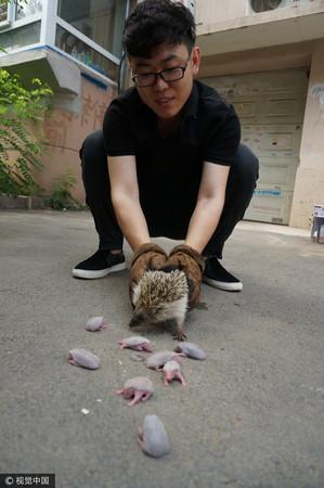 ▲▼大陸瀋陽李男好心撿了一隻刺蝟回家照顧,隔天起床竟然變成9隻。(圖/CFP)