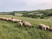 ▲北海道士別市羊與雲之丘。(圖/記者賴文萱攝)
