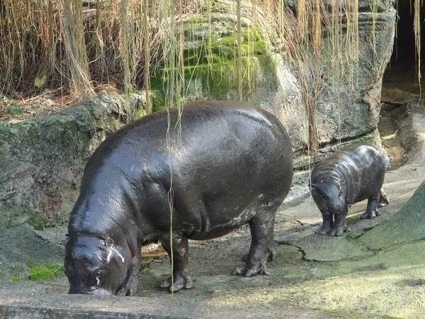 地方 地方  园方指出,侏儒河马黝黑的体色,乍看像黑猪,但相当可爱令人