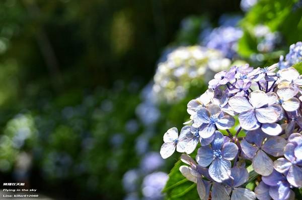 ▲高山農場繡球花(圖/攝影師《飛翔在天際》授權提供)