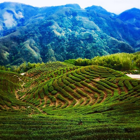 贵州湄潭茶园风景图