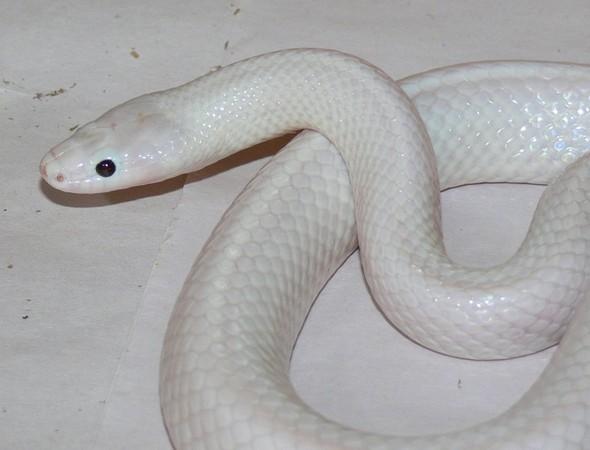 最美白色亚种蛇 澳洲动物园「特别安放」
