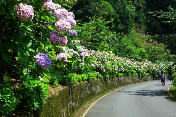 ▲杉林溪繡球花。(圖/取自《愛上杉林溪》臉書專頁)
