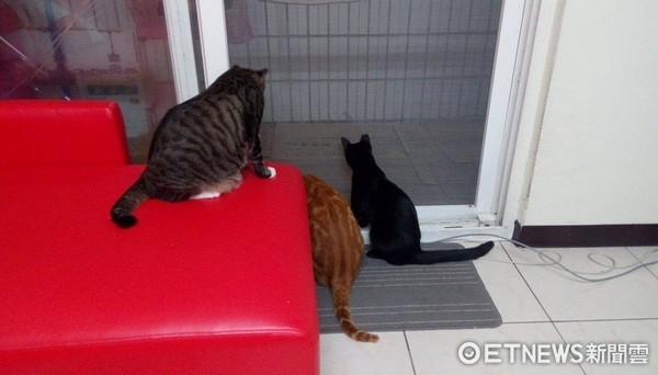 ▲▼家裡有落地紗窗之後 紗窗前面就變成最熱鬧的地方。(圖/粉絲專頁「我的貓貓生活」授權提供)