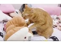▲小橘貓認真搓揉吐司娃娃。(圖/網友KH Yang提供,請勿隨意翻拍,以免侵權。)