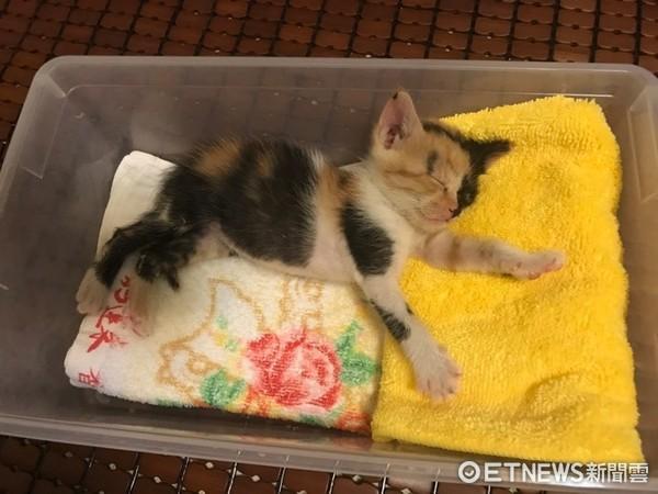 ▲陰陽臉小貓被嫌「長得醜才沒媽」 她撿回家當公主秀命命。(圖/網友Angel Bai提供)