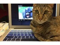 貓咪「木蘭」霸佔筆電。(圖/網友陳妤蘋提供,請勿隨意翻拍,以免侵權。)