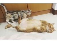 ▲肥橘貓哥哥變抱枕。(圖/飼主劉子譽提供)