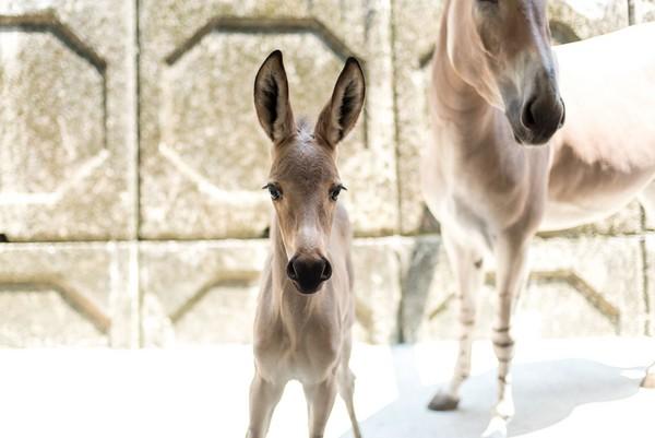 ▼非洲野驴宝宝.(图/台北市立动物园提供)