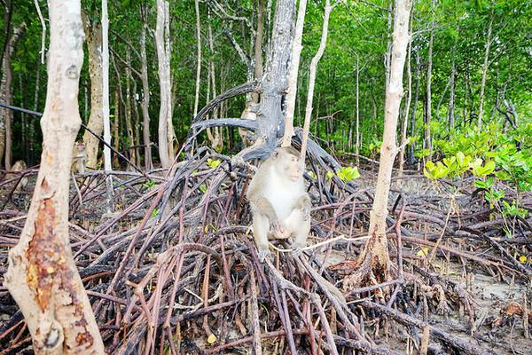 泰国兰塔岛搭长尾船 红树林中餵猴子吃水果!
