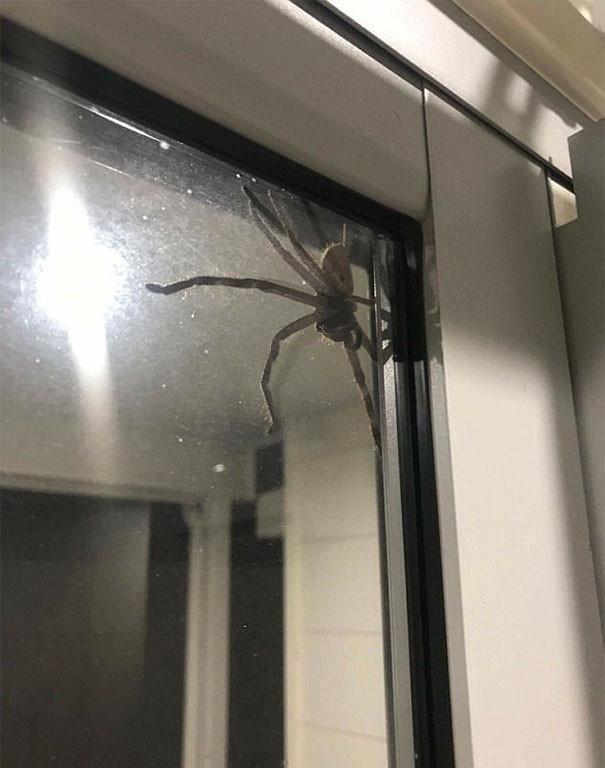 ▲▼澳洲情侶遇到超大蜘蛛。(圖/翻攝自外網,boredpanda)