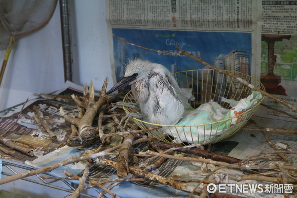 ▲▼台北野鳥救傷中心,白鷺寶寶。(圖/記者戴榕萱攝)